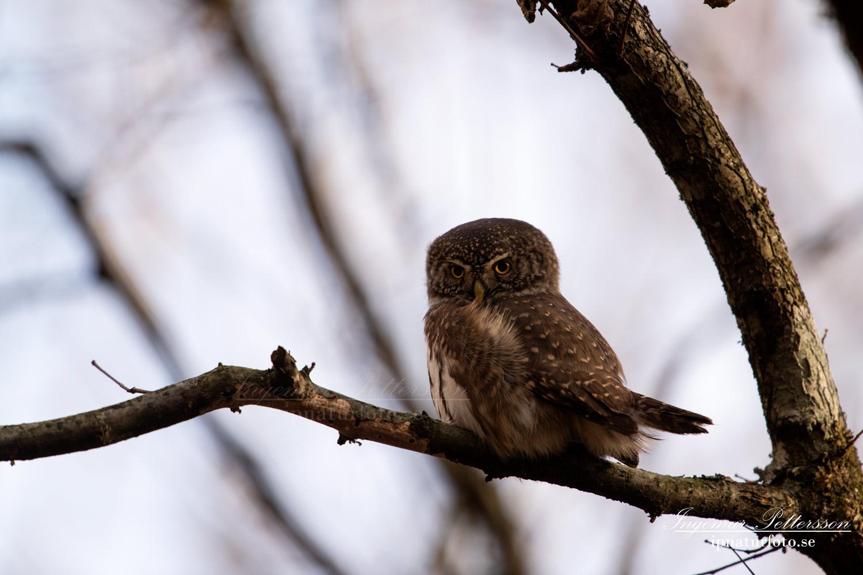 uggla_sparvuggla_pygmy_owl_sperlingskauz_ipnaturfoto_se_rf162