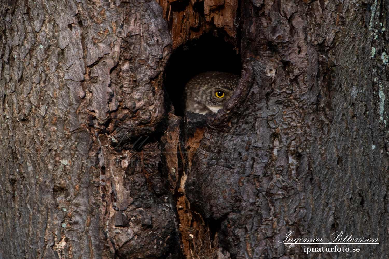 uggla_sparvuggla_pygmy_owl_sperlingskauz_ipnaturfoto_se_rf165