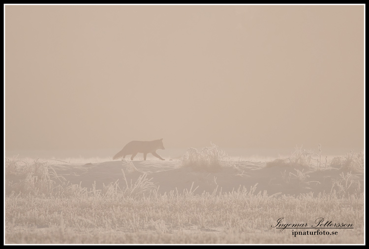 fox_ipnaturfoto_se_rav19