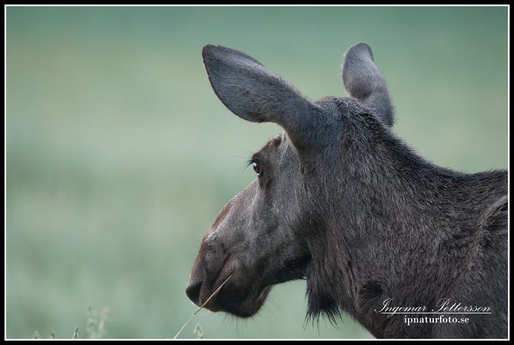 moose_ipnaturfoto_se_alg_alg18