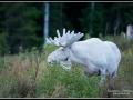whitemoose_ipnaturfoto_se_va242
