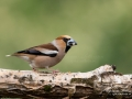 stenknack_hawfinch_ipnaturfoto_se_ft502