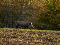 jakt_hunting_Wildschwein_vildsvin_host_wildboar_ingemar_pettersson_Sus_scrofa_vs50