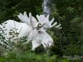 elch_alces_moose_algjakt_tjur_spiritmoose_sagoalg_whitemoose_white_moose_ingemar_pettersson_va325