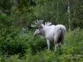 elch_alces_moose_spiritmoose_vitalg_vit_alg_sagoalg_saga_enhorning_ipnaturfoto_se_va327