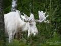 moose_spirit_moose_elch_varmland_ingemar_pettersson_sagoalg_leucism_albinoalg_spiritmoose_whitemoose_va324