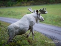 vit_alg_ipnaturfoto_elch_moose_weibe_va249