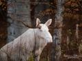 vit_alg_moose_white_moose_sago_alg_ipnaturfoto_va334
