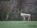 vit_alg_spirit_moose_white_moose_ingemar_pettersson_tjur_ipnaturfoto_se_va370