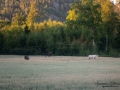 vit_alg_unicorn_white_moose_weißer_Elch_Sverige_berg_ipnaturfoto_se_va437