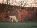 vit_alg_vitalg_white_moose_whitemoose_leucism_sagoalg_ipnaturfoto_se_va481