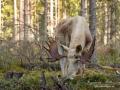 white_moose_spirit_moose_elch_vit_alg_ipnaturfoto_se_va296