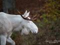 white_moose_spirit_moose_elch_vitalg_vit_alg_ingemar_pettersson_va338