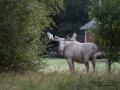 white_moose_spirit_moose_sagoalg_vitalg_vit_alg_ingemar_pettersson_va320