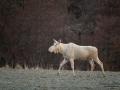 white_moose_vit_alg_leucism_elch_spirit_moose_unicorn_ipnaturfoto_se_algtjur_va474