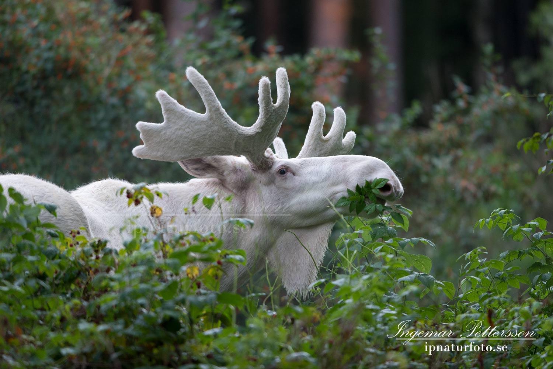 albino älg