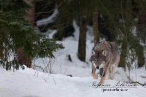 Vargen vandrar återigen genom våra skogar.