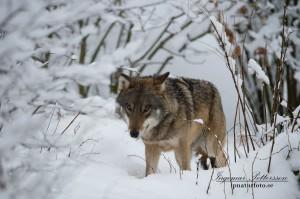 Varg i vinterlandskap (fotograferad i hägn).