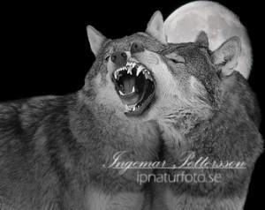 Vargar som ylar i fullmånen (fotomontage).