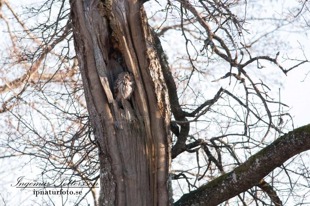 Kattuggla på dagkvist utanför en naturlig boplats. Just dessa boplatser blir det mindre och mindre av då många äldre träd blåser ner eller sågas ner.