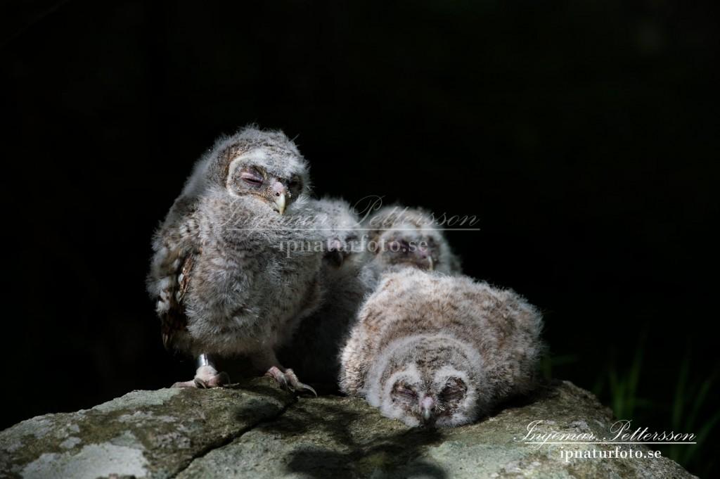 Trötta uggleungar som väntar på att alla syskon skall få sina ringar vid ringmärkningen.