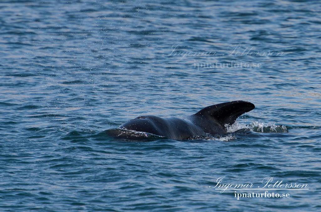 Grindvalen kommer mycket nära kajkanterna.