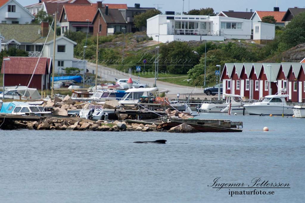Bilden känn som om den kommer från en av filmerna i serien hajen. Stor ryggfena långt in i ett hamnområde.