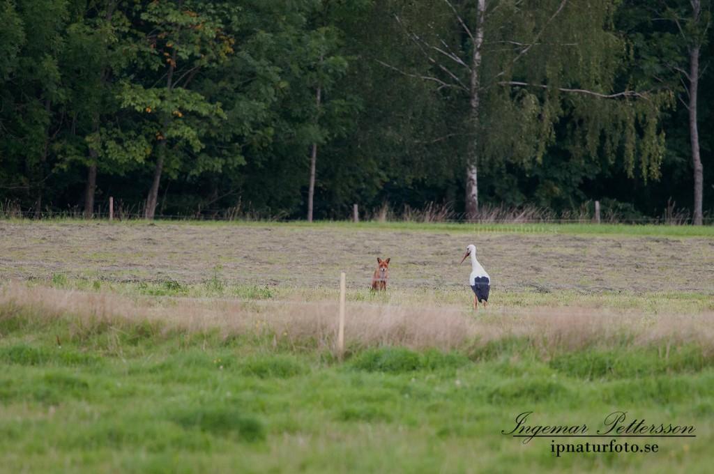 Udda morgonmöte i Uddevalla 2009, räv möter vit stork.