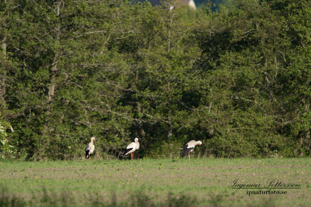 Det tre vita storkarna håller  på långt håll med kraftigt värmedaller.