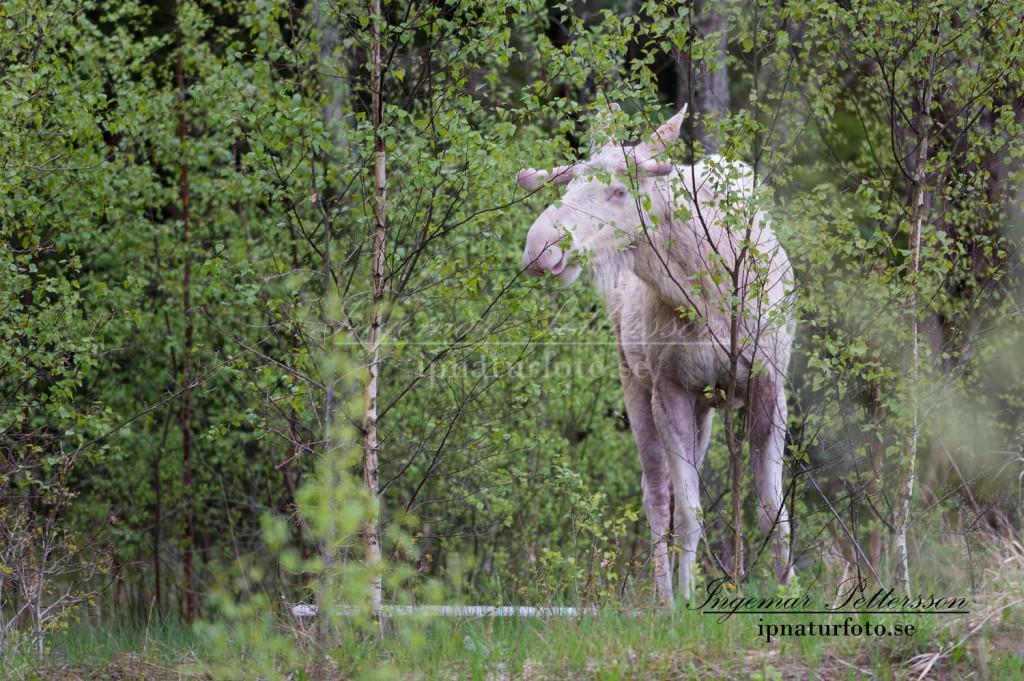 Den vita älgtjuren i Munkedal äter löv.