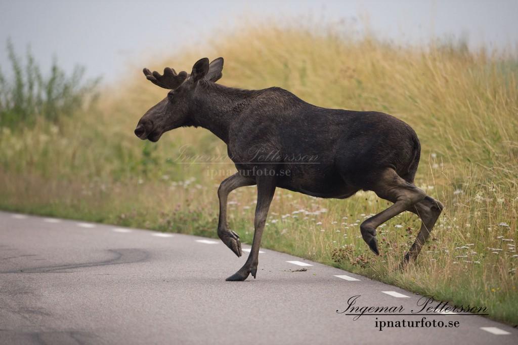 Farligt läge i trafiken när älgen plötsligt kastar sig upp på vägbanan. (arkivfoto)
