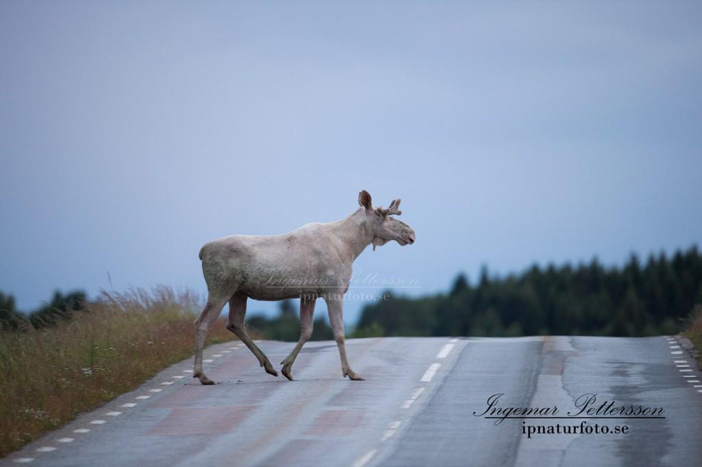 Ta det försiktigt i trafiken, du vet aldrig vad som väntar bakom nästa backkrön. Det kan till och med vara en vit älg...
