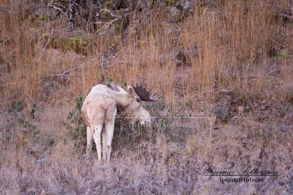 Frostig morgon hos den stora vita älgtjuren i Värmland.