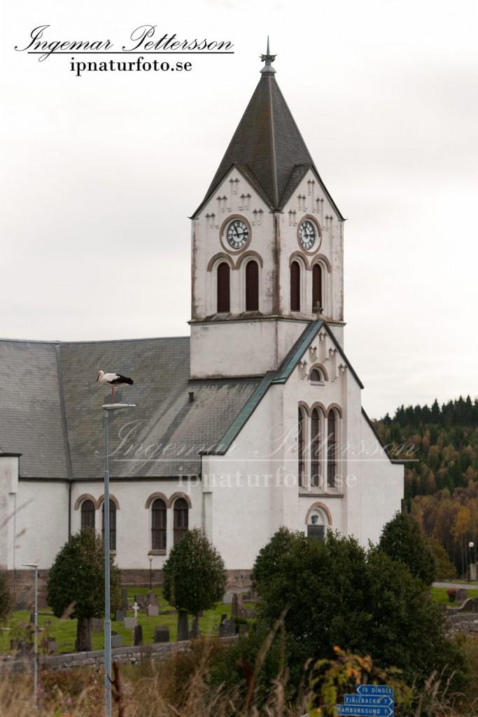 Vit stork med Kville kyrka i bakgrunden, Tanum Bohuslän.