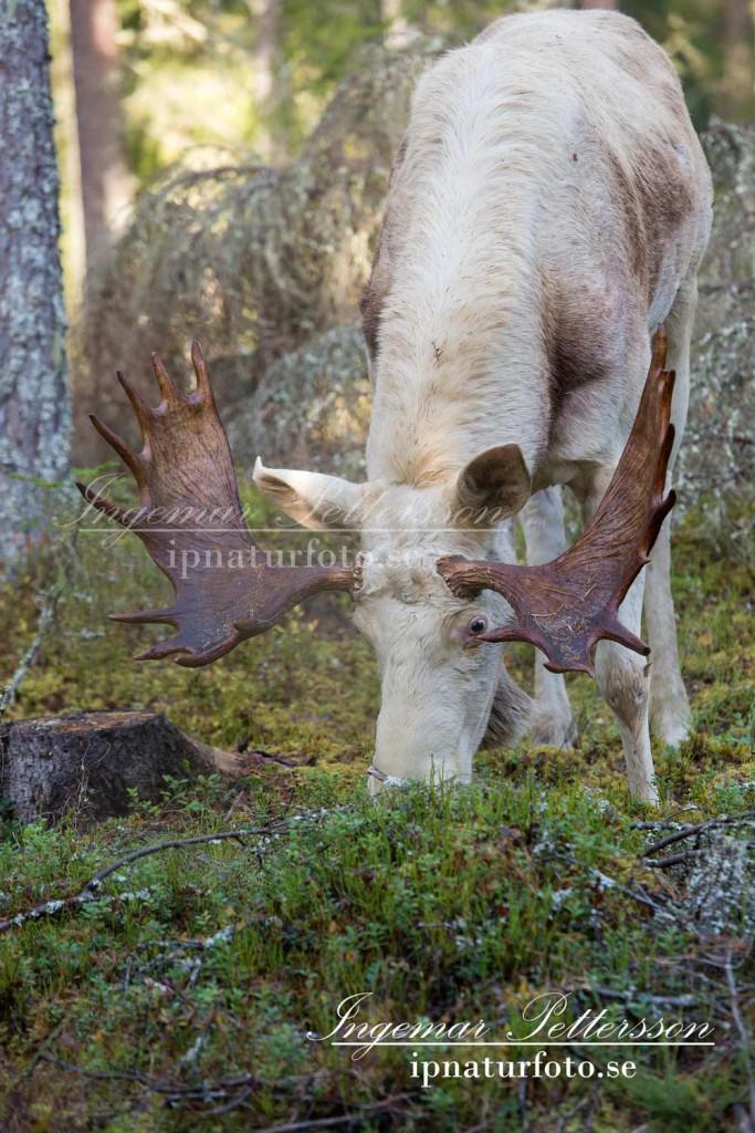 Den stora vita älgen äter blåbärsris en tidig oktober morgon långt inne i skogen.