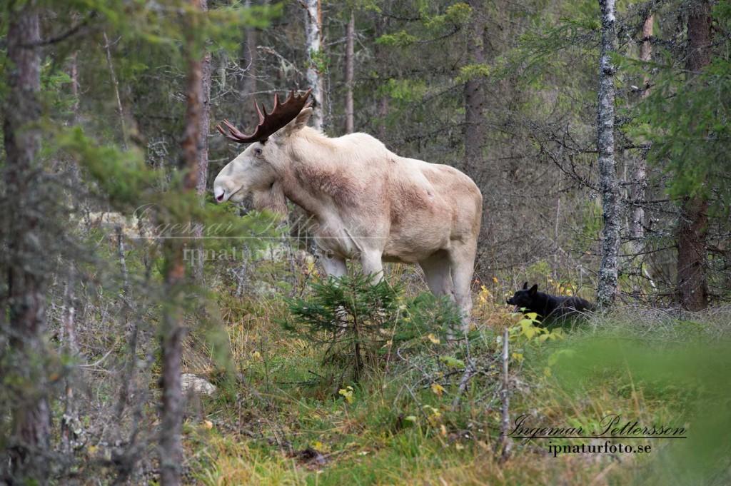 Ståndskall på vit älgtjur med 19-taggar i de djupa Värmlandsskogarna.