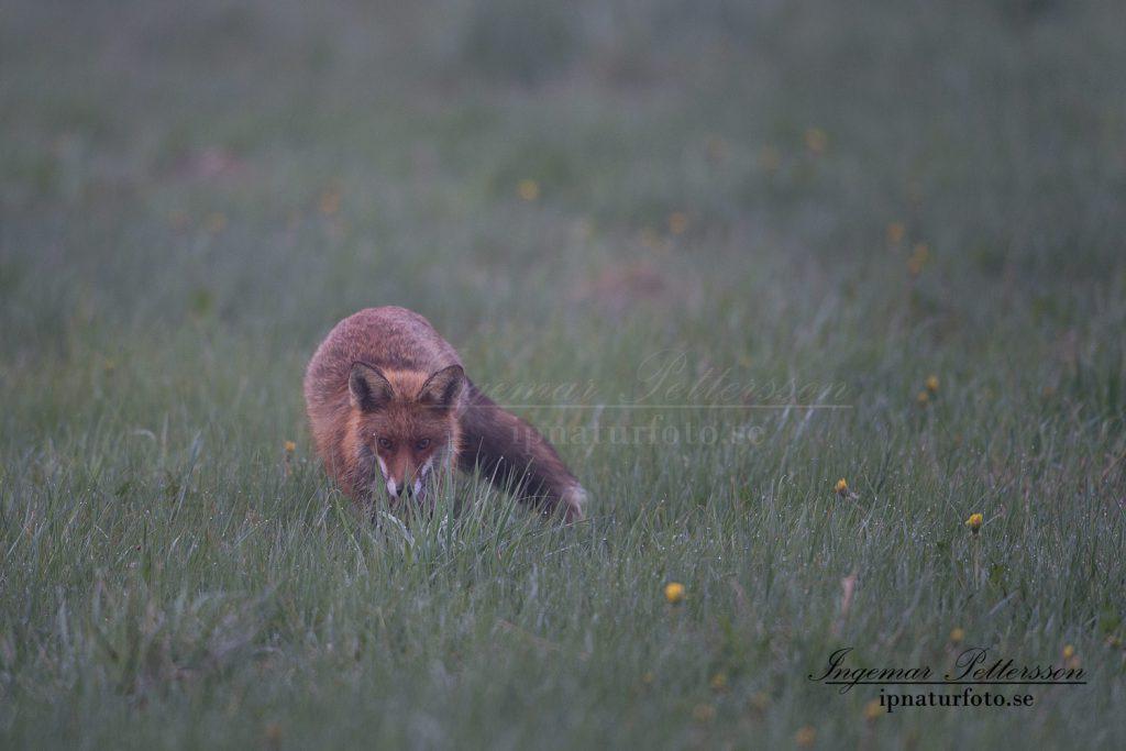 Jägaren smyger tyst fram över åkermarkerna.