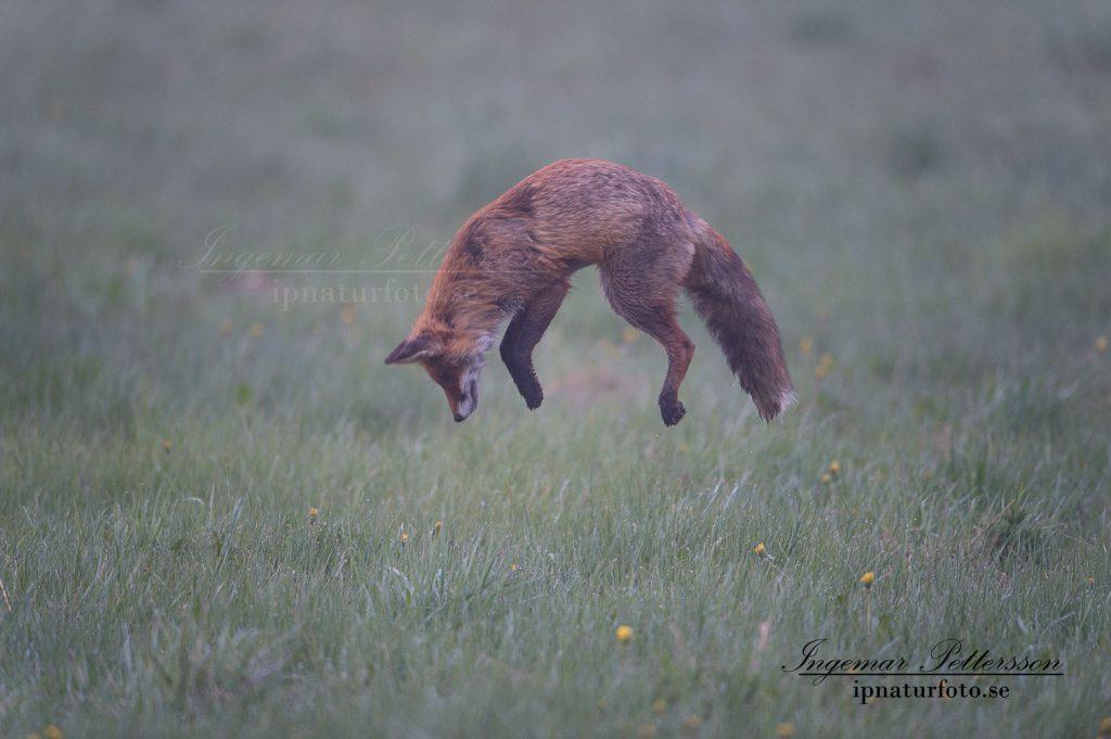 Räven har lyssnat in sig och är mitt i språnget.