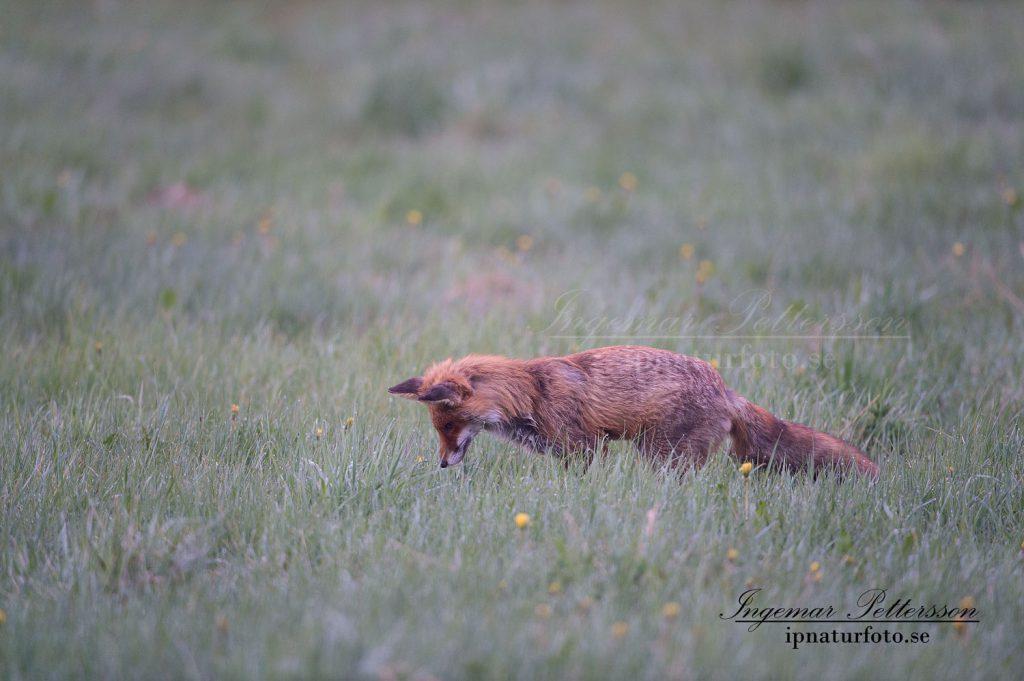 Räven lyssnar efter sorkens små ljud.