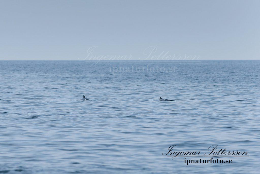 Tumlare som jagar 12-15 distansminuter väster om Måseskär.