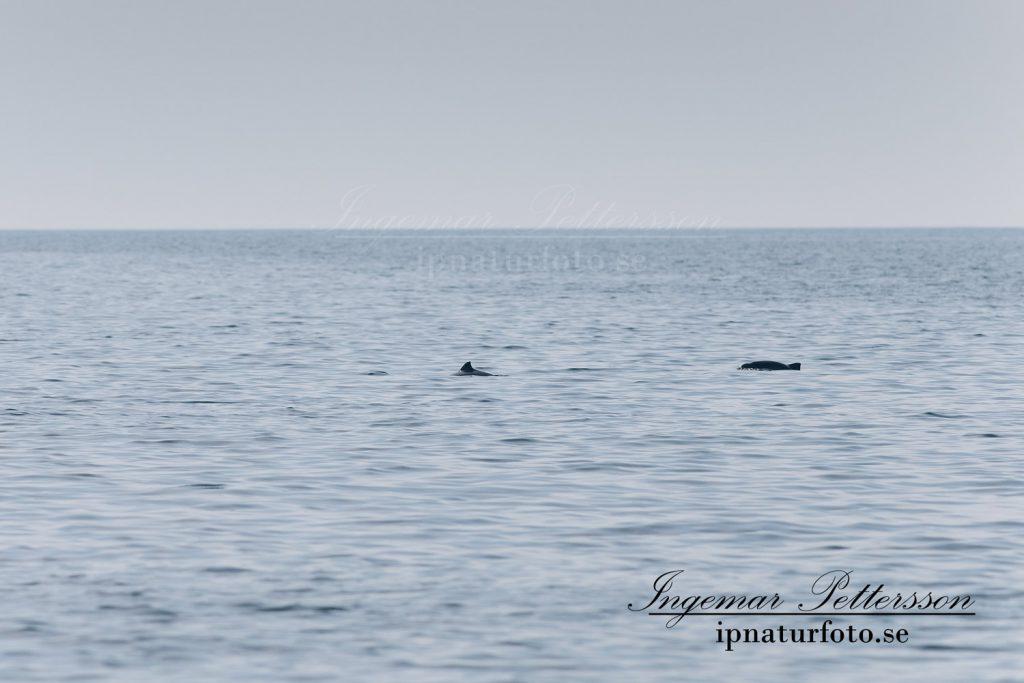 Ibland var det tumlare som jagade i mindre grupper i alla väderstreck runt båten.