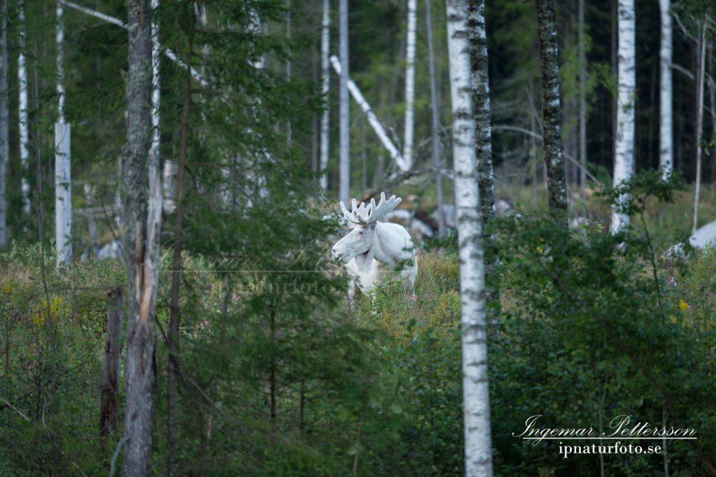En stor vit älg skymtar mellan några björkstammar då den står på ett hygge.