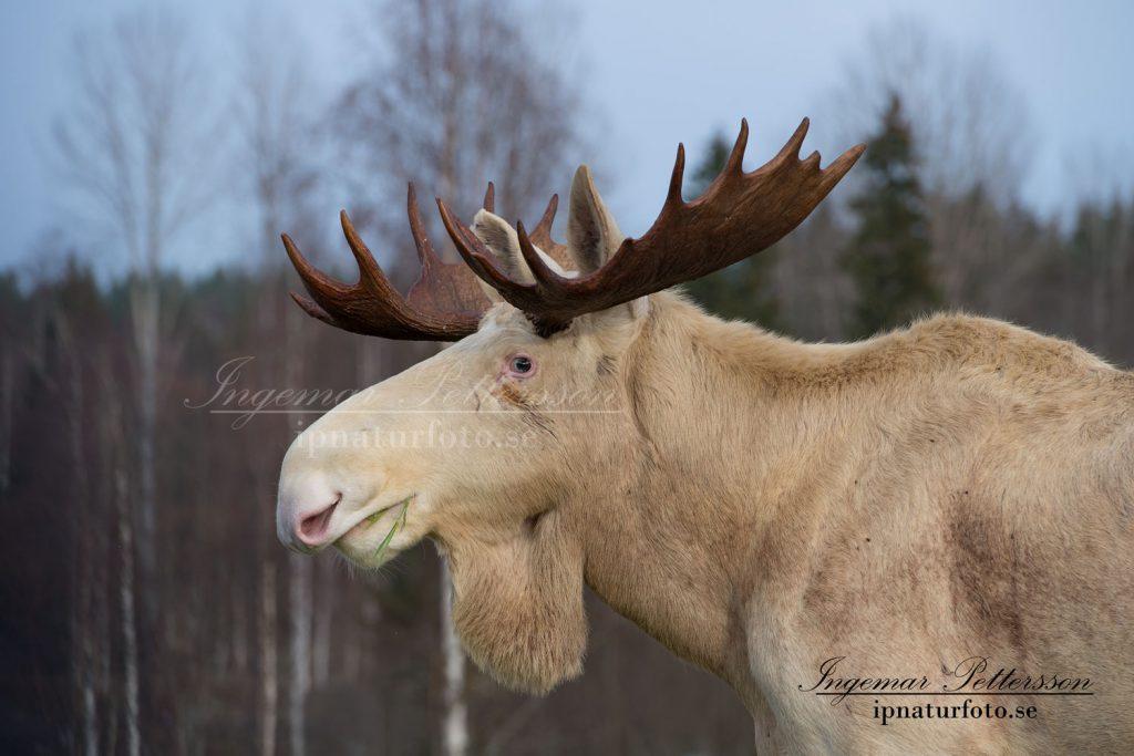 En mycket stor vit älgtjur med naturligt färgade horn.