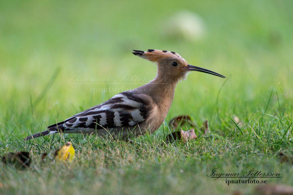 Härfågel i Lysekil, bilden tagen den 10 september.