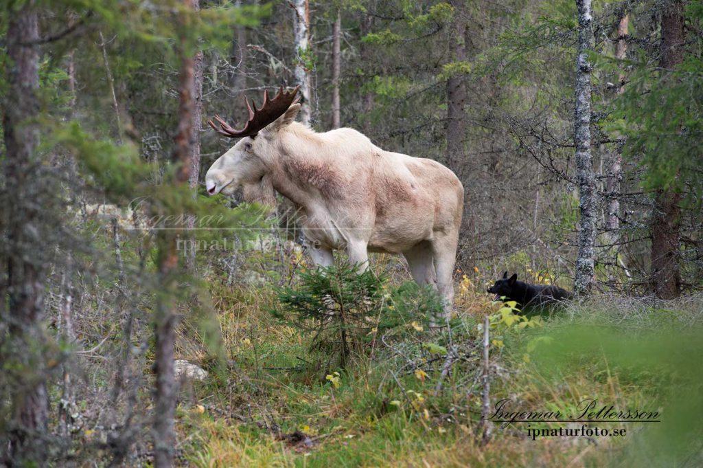 Ståndskall på en vit älgtjur med 19 taggar i de djupa Värmländska skogarna.