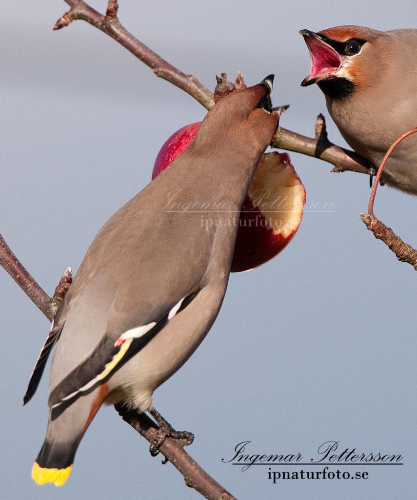 Sidensvansarna är inte helt överens om vem som skall ha äpplet.
