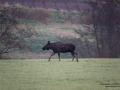 moose_alg_elch_alces_tjur_algtjur_ipnaturfoto_se_alg126
