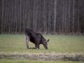 moose_ipnaturfoto_se_alces_elch_alg85