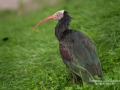 ibis_ipnaturfoto_se_nf76