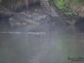 castor_fiber_river_misty_dimma_baver_ipnaturfoto_se_beaver_odj151